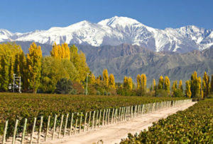 Green vineyards in Mendoza.